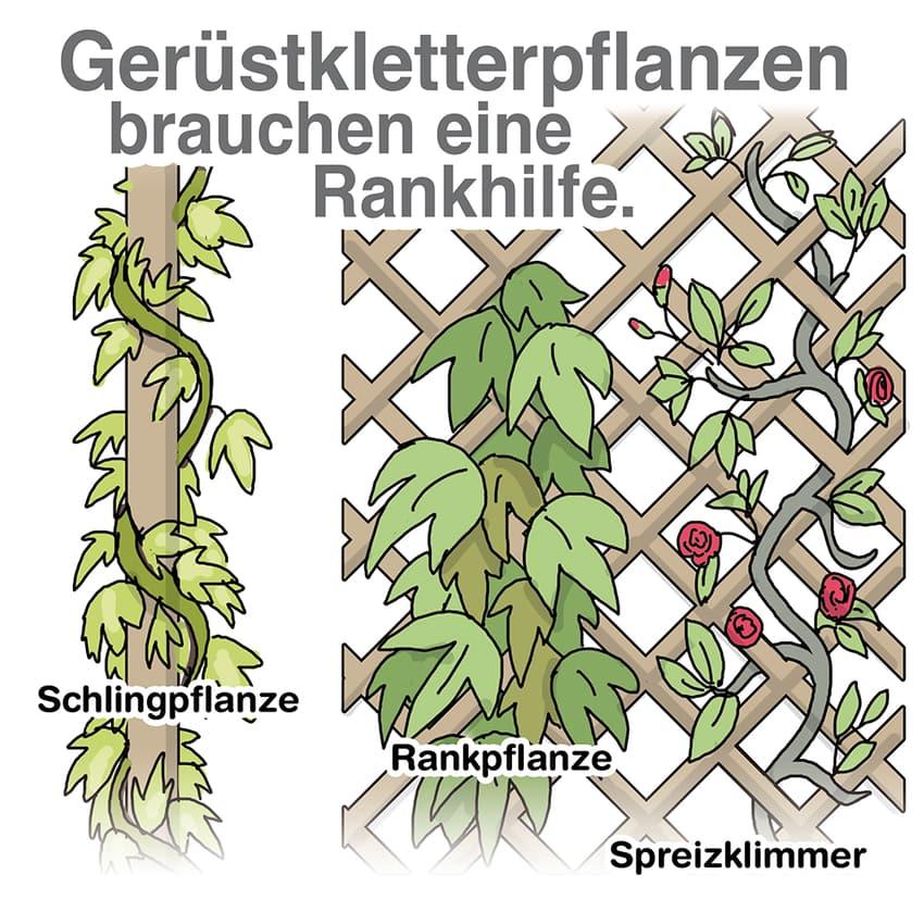 Gerüstkletterpflanzen brauchen eine Rankhilfe