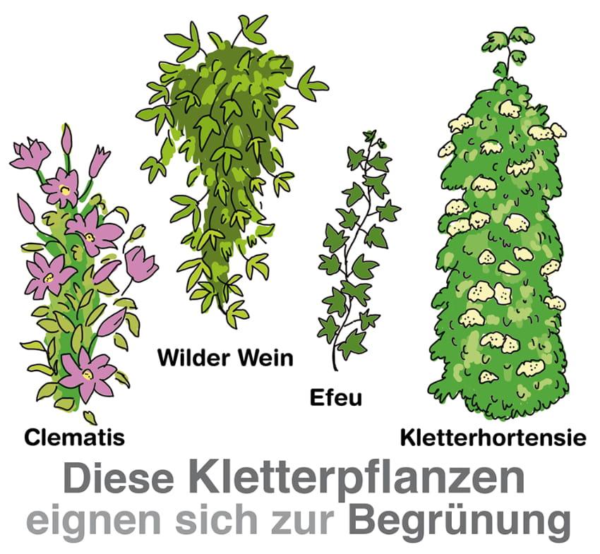 Diese Kletterpflanzen eignen sich zur Begrünung